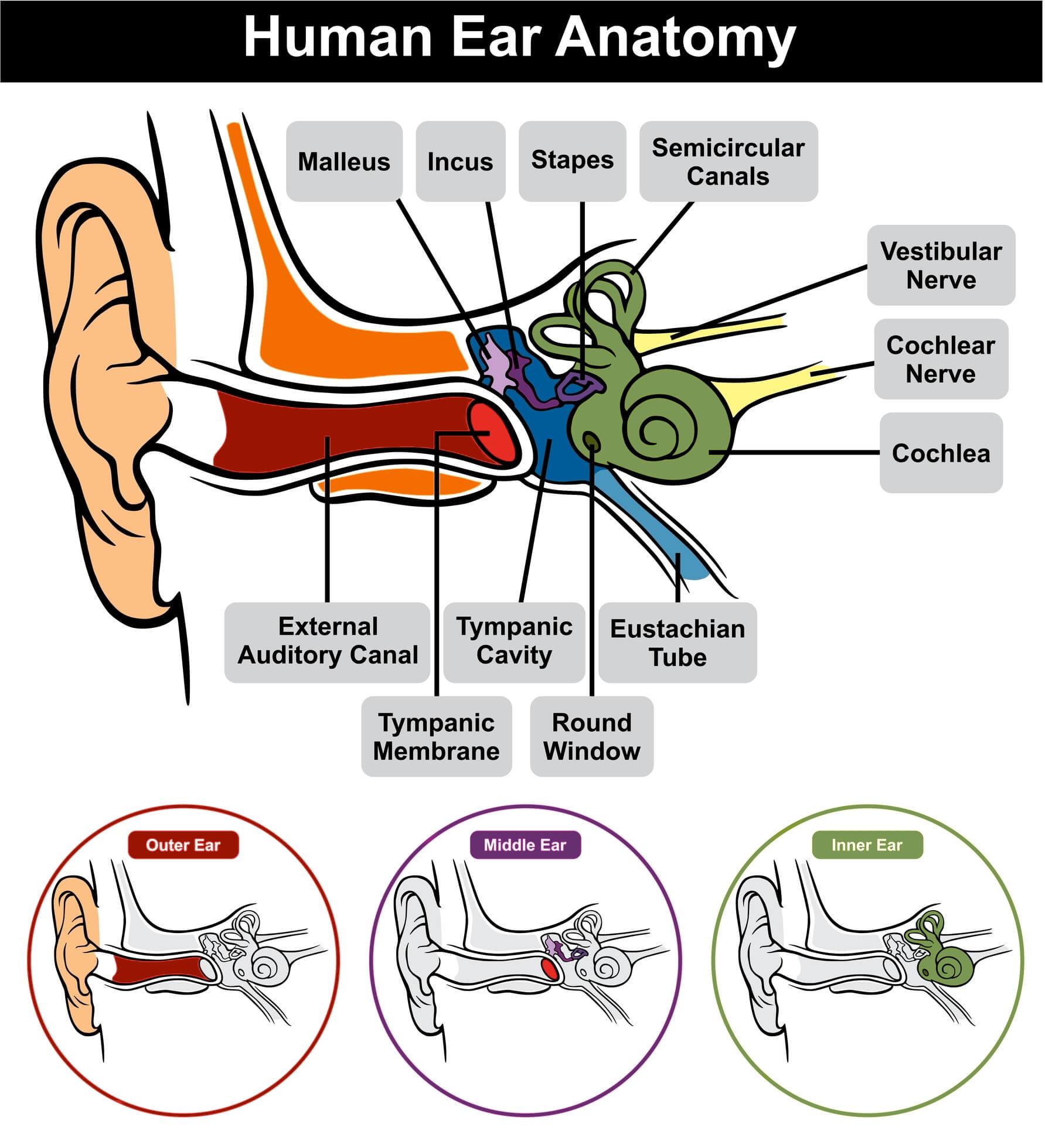 vestibular anatomy